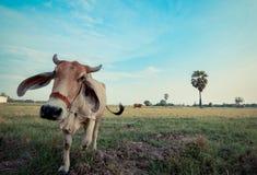 恼怒的母牛 库存图片