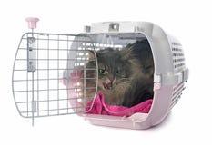 恼怒的波斯猫 免版税库存图片