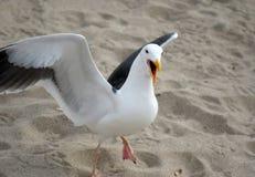 恼怒的海鸥 免版税库存照片