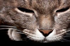 恼怒的灰色猫画象 免版税库存照片