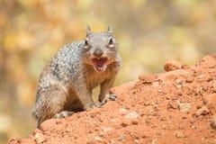 恼怒的灰鼠在大峡谷 图库摄影