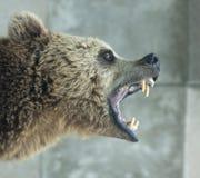 恼怒的熊 库存图片