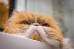 恼怒的特写镜头猫画象 库存照片