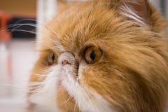 恼怒的特写镜头猫画象 免版税库存照片