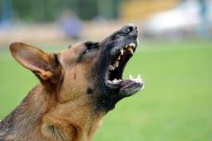 恼怒的狗 免版税库存图片