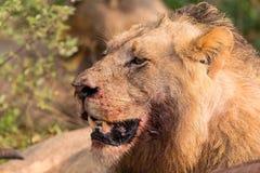 恼怒的狮子凝视通过准备好的叶子杀害 免版税库存图片