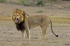恼怒的狮子 免版税库存图片