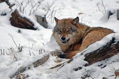 恼怒的狼在黑森林德国里 库存照片