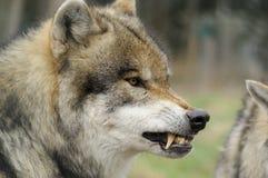 恼怒的狼 免版税库存图片