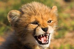 恼怒的猎豹崽 免版税图库摄影
