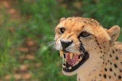 恼怒的猎豹 免版税库存图片