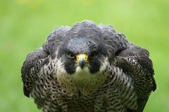 恼怒的猎鹰 免版税库存照片