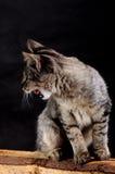 年轻恼怒的猫咆哮声 库存照片