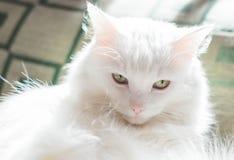 恼怒的猫神色 库存图片