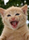 恼怒的猫 免版税库存照片