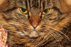 恼怒的猫 免版税库存图片