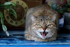 恼怒的猫 图库摄影
