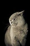 恼怒的猫 库存图片