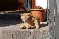 恼怒的猫 免版税图库摄影