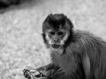 恼怒的猴子 库存照片