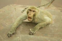 恼怒的猴子 免版税库存图片