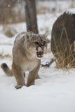恼怒的美洲狮 免版税库存图片