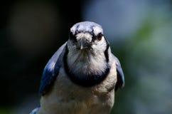 恼怒的蓝色尖嘴鸟 免版税库存图片