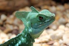 恼怒的蜥蜴凝视 免版税库存图片
