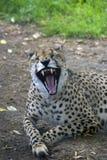 恼怒的豹子 库存照片