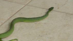 恼怒的边镶边棕榈坑蛇蝎,哥斯达黎加动物园 股票录像