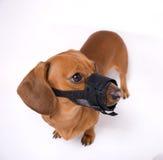 恼怒的达克斯猎犬枪口 免版税库存图片