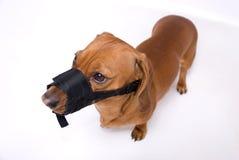 恼怒的达克斯猎犬枪口 库存照片