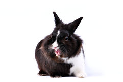 恼怒的野兔一点 免版税图库摄影