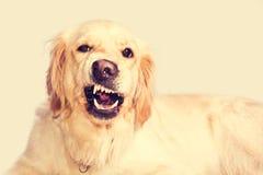 恼怒的金毛猎犬狗 免版税库存照片