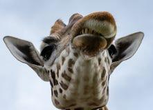 恼怒的长颈鹿关闭 免版税库存图片