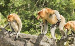 恼怒的长鼻猴 免版税库存图片