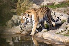 恼怒的阿穆尔河老虎,豹属底格里斯河altaica,打的爪子到水里 免版税库存照片