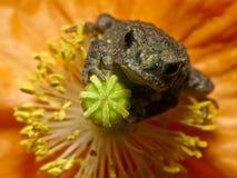 恼怒的青蛙 免版税库存照片