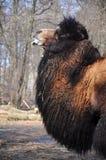 恼怒的骆驼 库存图片