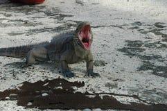 恼怒的鬣鳞蜥 免版税库存图片