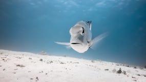 恼怒的鱼 免版税库存照片