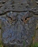 恼怒的鳄鱼 库存图片