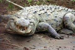 恼怒的鳄鱼 库存照片