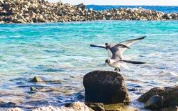 恼怒的鸟在阿鲁巴,婴孩海滩 库存图片