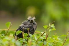 恼怒的鸟小鸡 库存照片