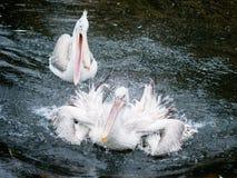 恼怒的鸟:拍动翼和飞溅水的两鹈鹕 免版税图库摄影