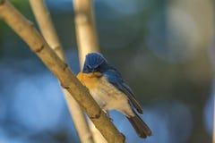 恼怒的鸟:Cyornis tickelliae或迪克尔的蓝色捕蝇器 库存图片