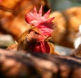 恼怒的鸡 库存图片