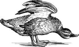 恼怒的鸭子 免版税库存照片