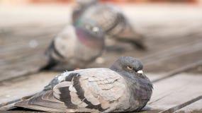 恼怒的鸽子和朋友 免版税库存照片
